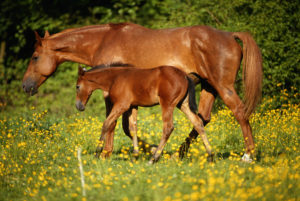 Arabian horse with foal in field, side view